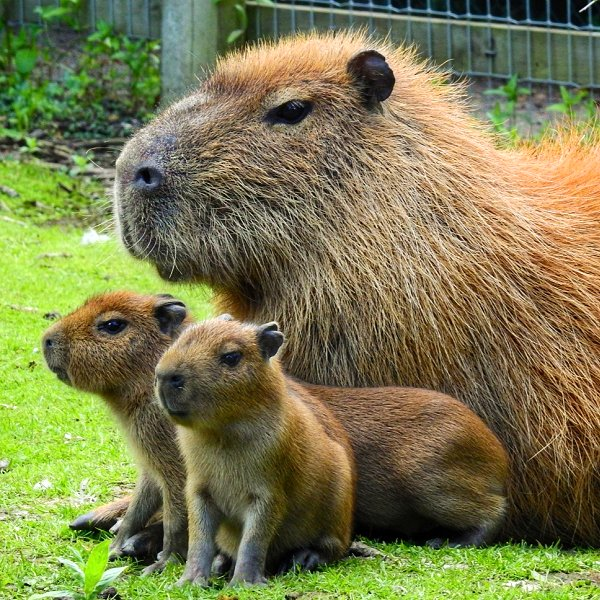 Mammals at Woodside Wildlife Park - Capybara