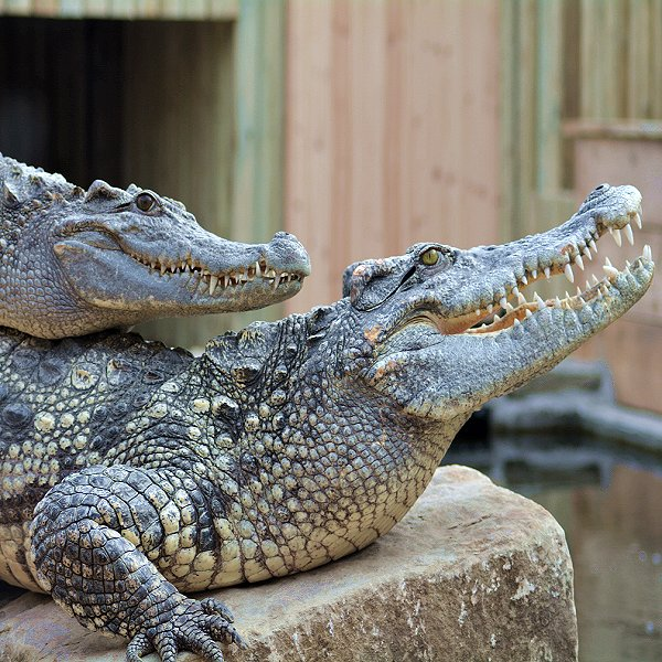 Siamese Crocodiles - Woodside Wildlife Park. Lincolnshire