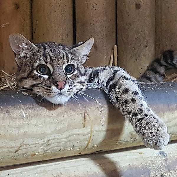 Mammals at Woodside Wildlife Park  - Geoffroys Cat