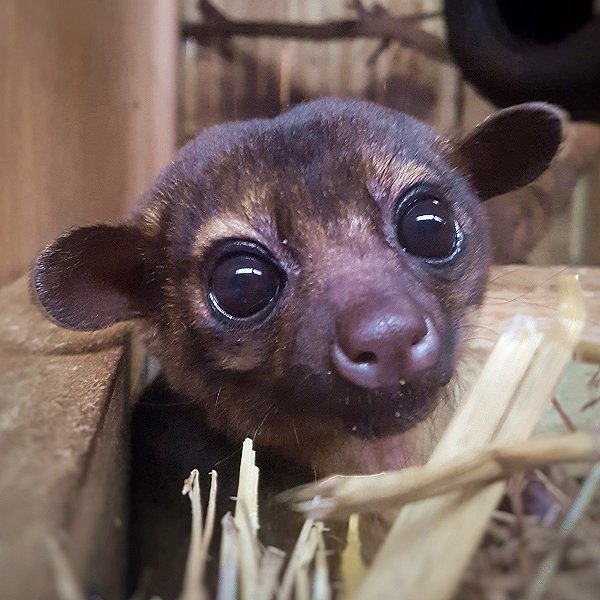 Mammals at Woodside Wildlife Park  - Kinkajou