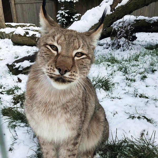 Mammals at Woodside Wildlife Park  - Siberian Lynx