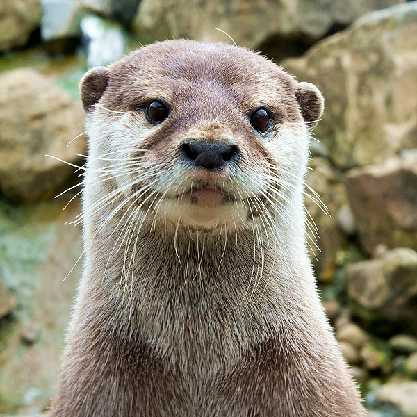 Mammals at Woodside Wildlife Park  - Asian Short-Clawed Otters