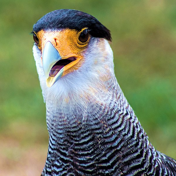 Pedro the Crested Caracara - Tropical birds and birds of prey at Woodside Wildlife Park