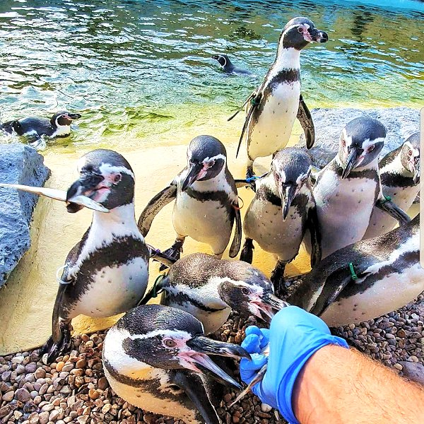 Humboldt Penguins  at Lincolnshire wildlife Park - Feeding