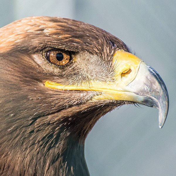 Rosa the Steppe Eagle - Tropical birds and birds of prey at Woodside Wildlife Park