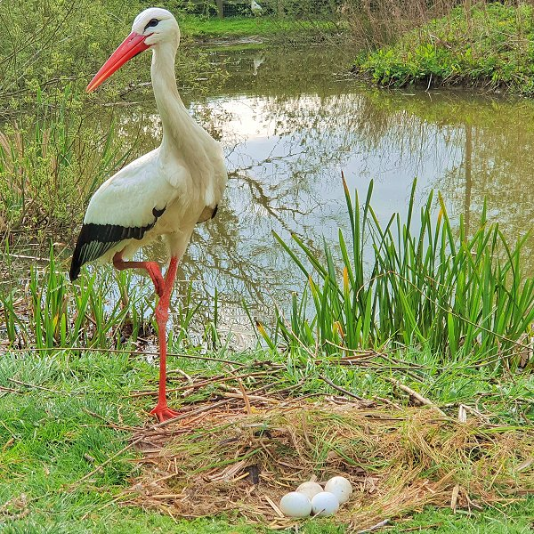 White Stork - Tropical birds and birds of prey at Woodside Wildlife Park