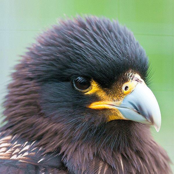 Striated Caracara - Tropical birds and birds of prey at Woodside Wildlife Park