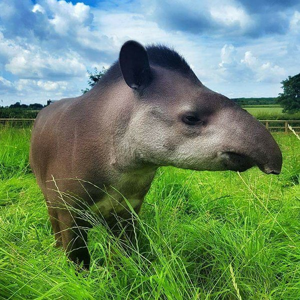 Mammals at Woodside Wildlife Park - Lowland Tapir