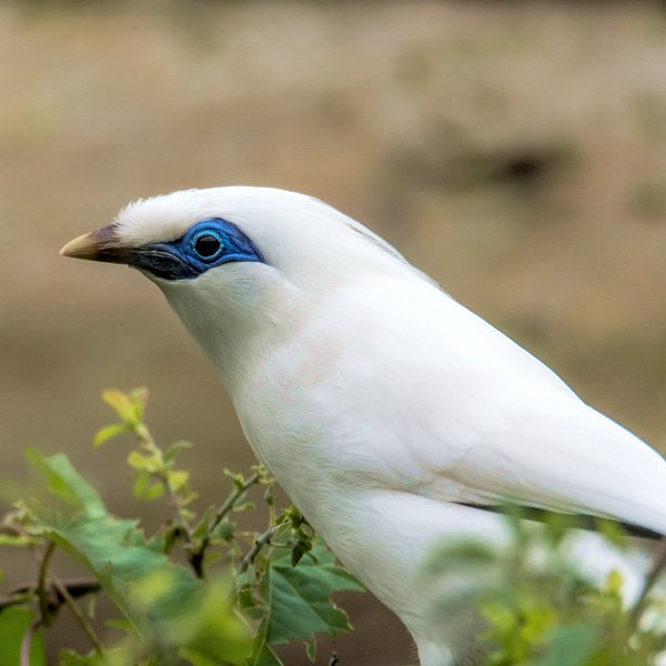 Bali Starling - Endeavour Tropical House at Woodside Wildlife Park