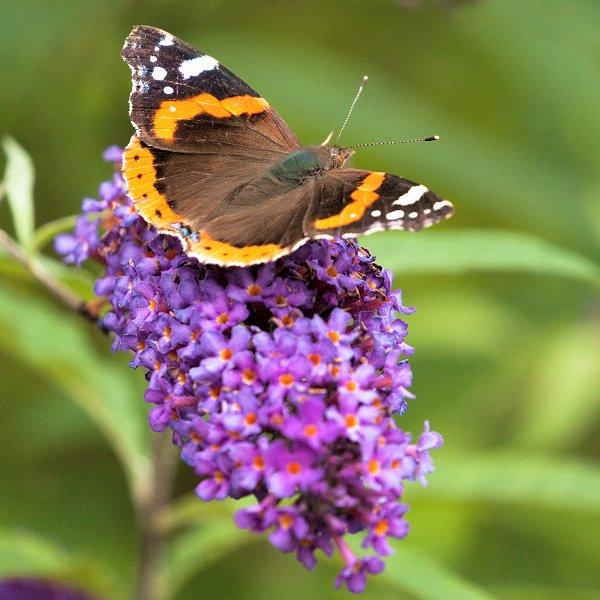 Plants at Woodside Wildlife Park - Buddleia