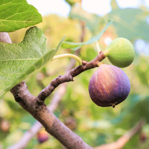 Plants at Woodside Wildlife Park - Fig Tree