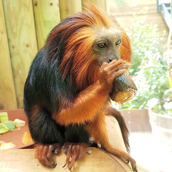 Golden-Headed Lion Tamarin - Endeavour Tropical House at Woodside Wildlife Park