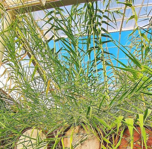 Plants at Woodside Wildlife Park - Giant Reed/Cane