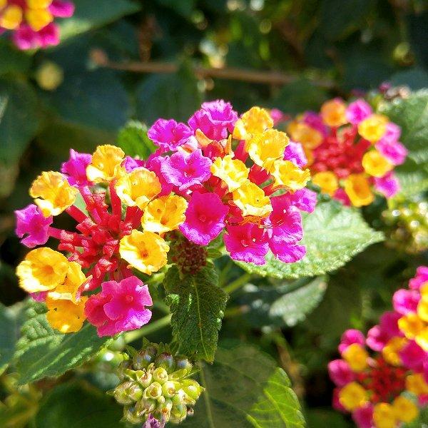 Plants at Woodside Wildlife Park - Lantana