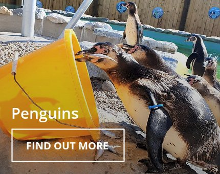 Animals and Plants - Humboldt penguins at Woodside Wildlife Park