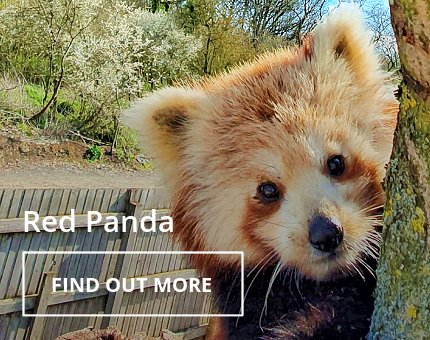 Animals and Plants - Red panda at Woodside Wildlife Park