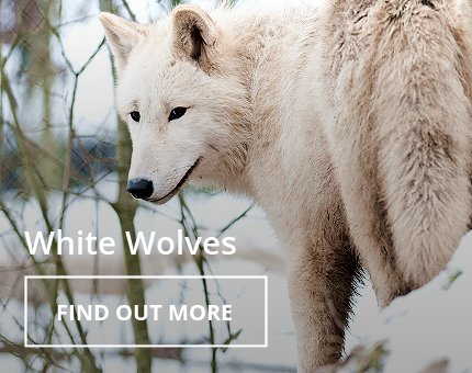 Animals and Plants - Hudson Bay wolf at Woodside Wildlife Park