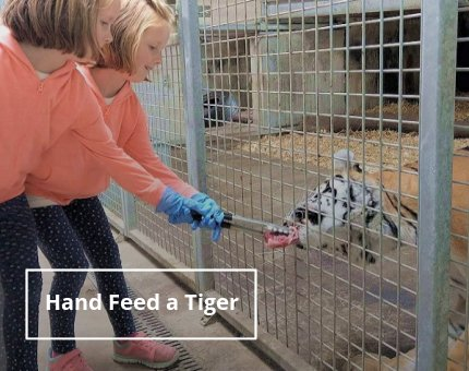 Animal Encounters - Hand Feed a Tiger
